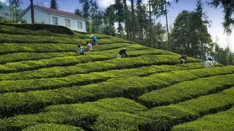 To revive its tea industry, West Bengal sheds anti-business image