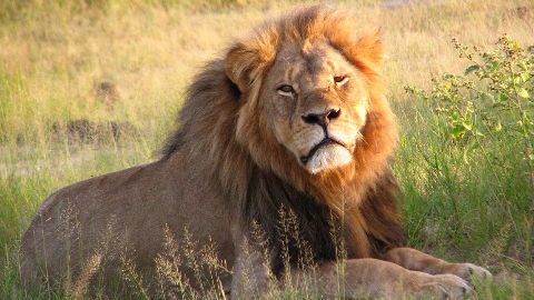 Cecil the lion case: Dentist not to be charged