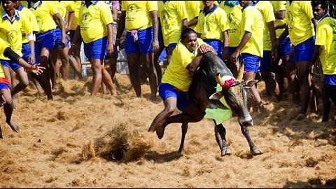 Centre to allow banned bull-taming sport